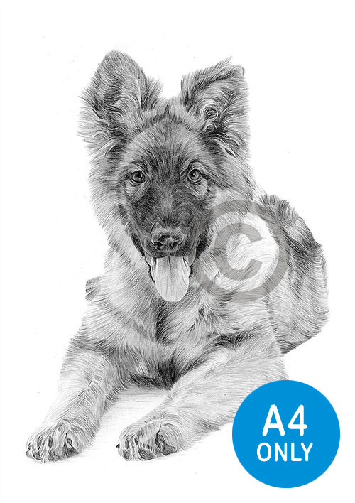Pencil drawing of a German Shepherd puppy