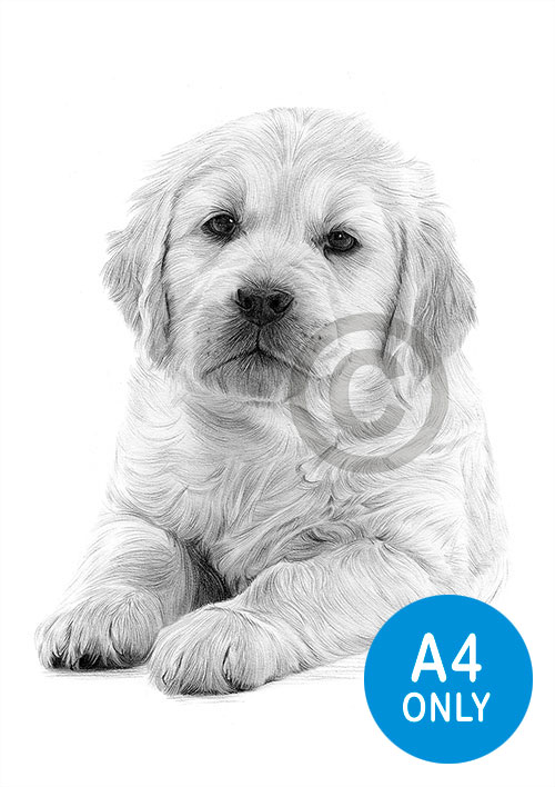 Pencil drawing of a Golden Retriever puppy