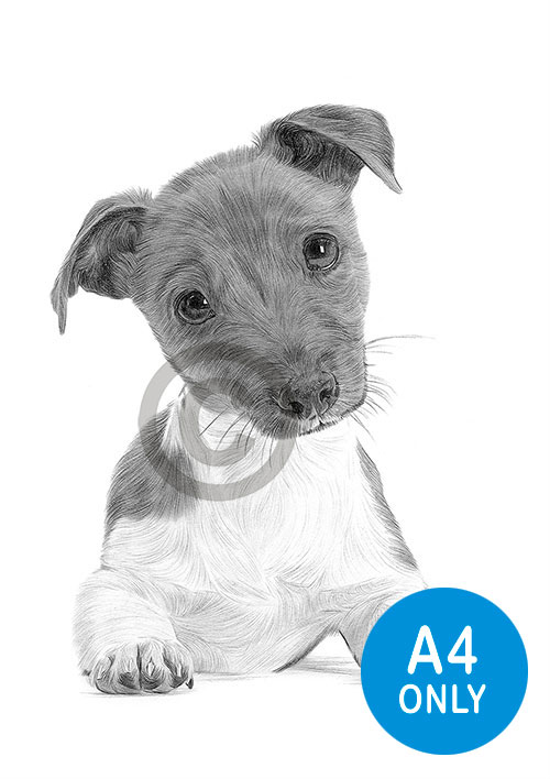 Pencil drawing of a Jack Russell Terrier puppy