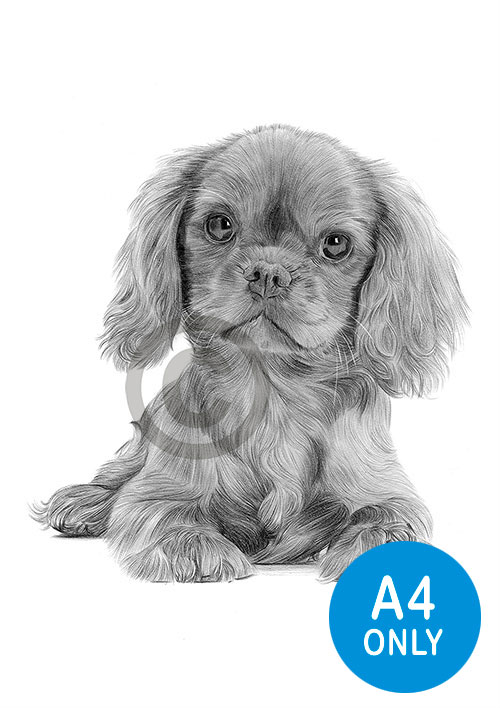 Pencil drawing of a King Charles Spaniel puppy