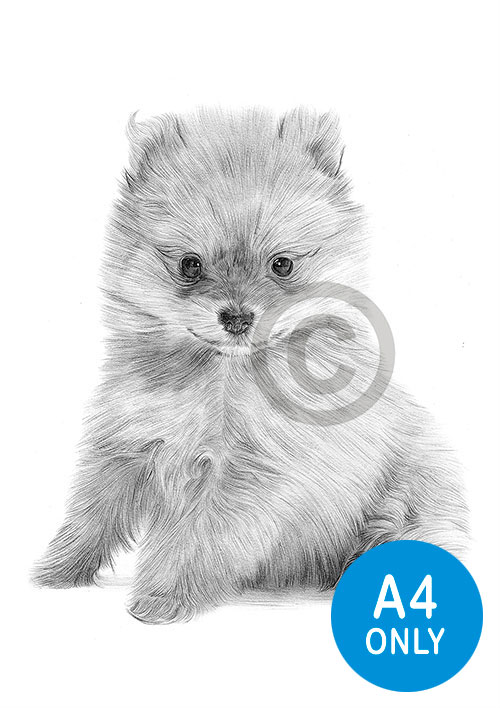 Pencil drawing of a Pomeranian puppy