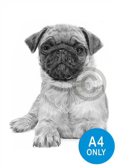 Pencil drawing of a Pug puppy
