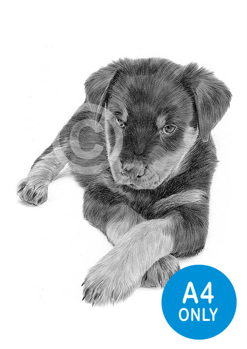 Pencil drawing of a Rottweiler puppy