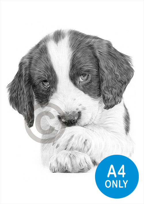 Pencil drawing of a Springer Spaniel puppy