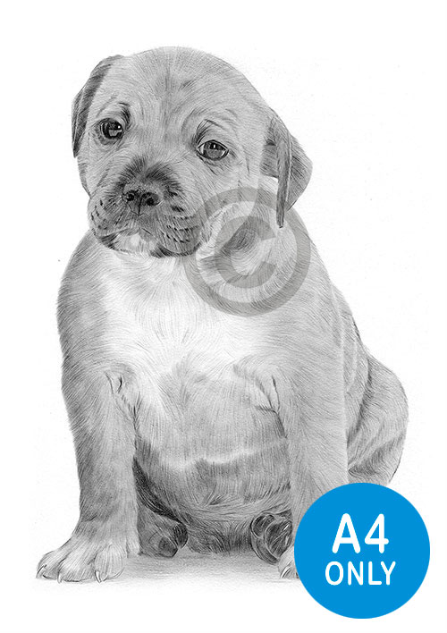 Pencil drawing of a Staffordshire Bull Terrier puppy