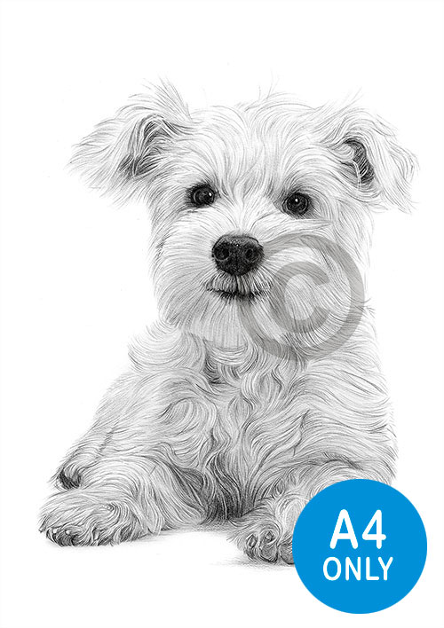 Pencil drawing of a West Highland White Terrier puppy