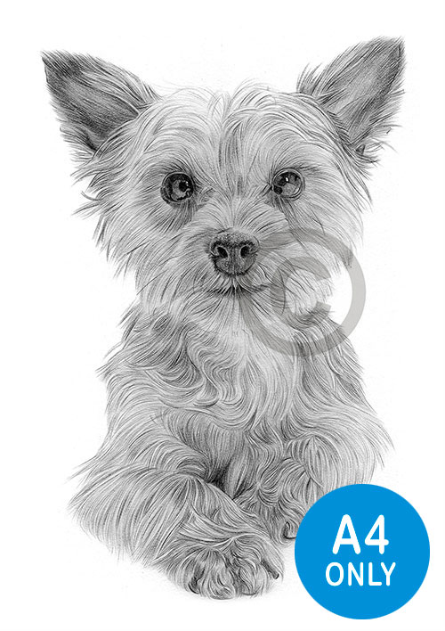 Pencil drawing of a Yorkshire Terrier puppy