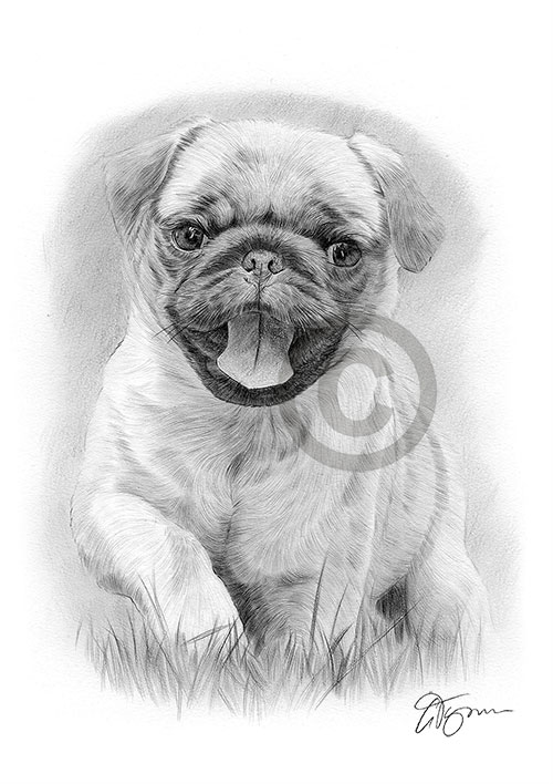 Pencil drawing of a Pug puppy running