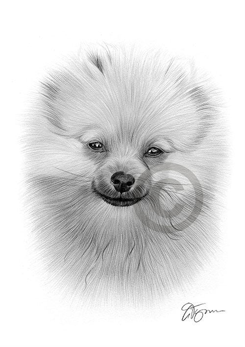 Pencil drawing of a young Pomeranian puppy