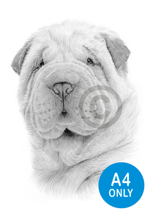 Pencil drawing of a Shar Pei puppy