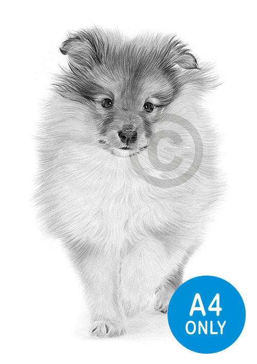 Pencil drawing of a Sheltie puppy