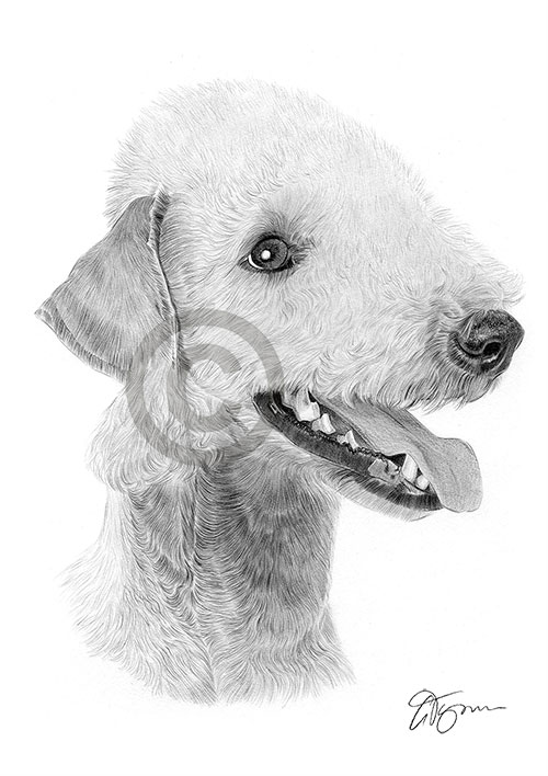 Bedlington Terrier dog pencil drawing thumbnail