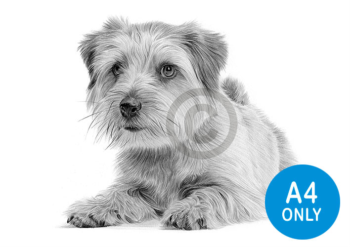 Pencil drawing of a Norfolk Terrier