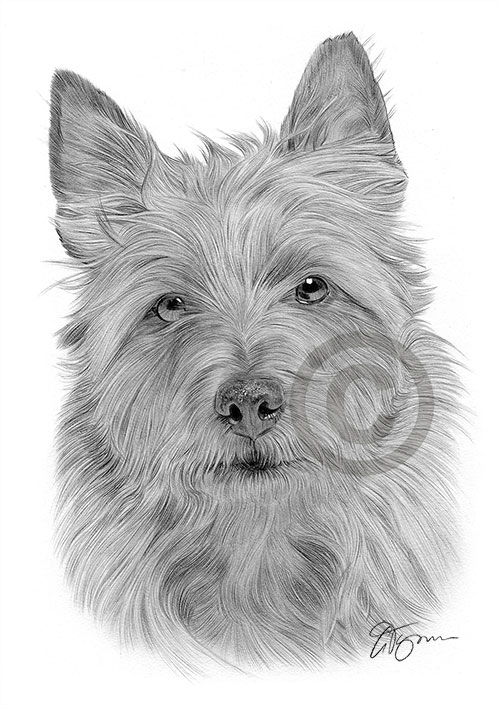 Australian Terrier dog pencil drawing thumbnail