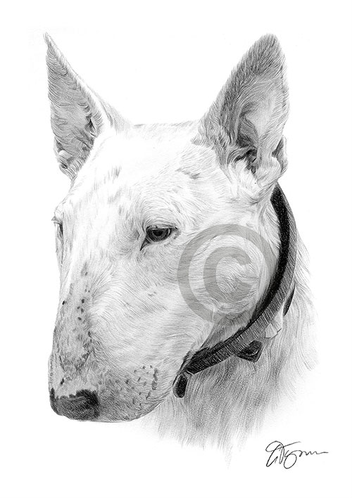 English Bull Terrier dog pencil drawing thumbnail