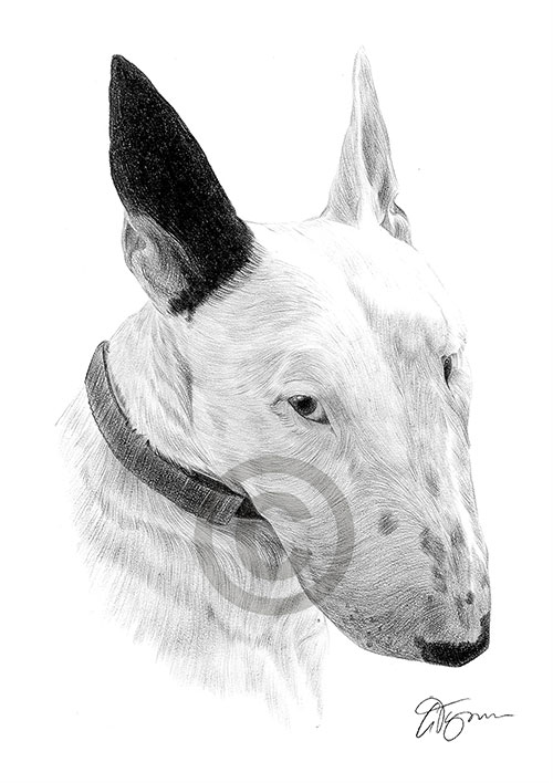 Adult English Bull Terrier dog pencil drawing thumbnail