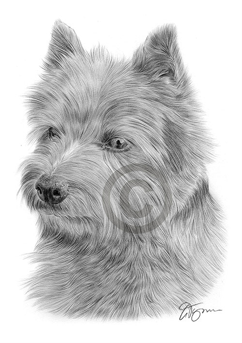 Norwich Terrier dog pencil drawing thumbnail