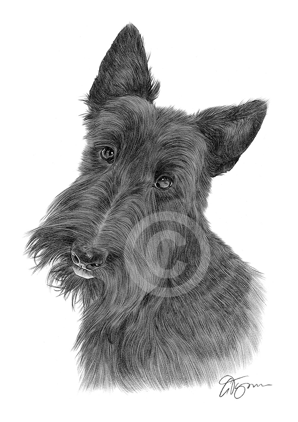 Pencil Drawing Of A Scottish Terrier By Artist Gary Tymon