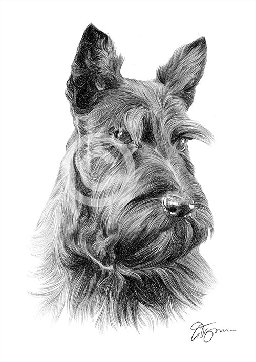 Scottish Terrier dog pencil drawing thumbnail