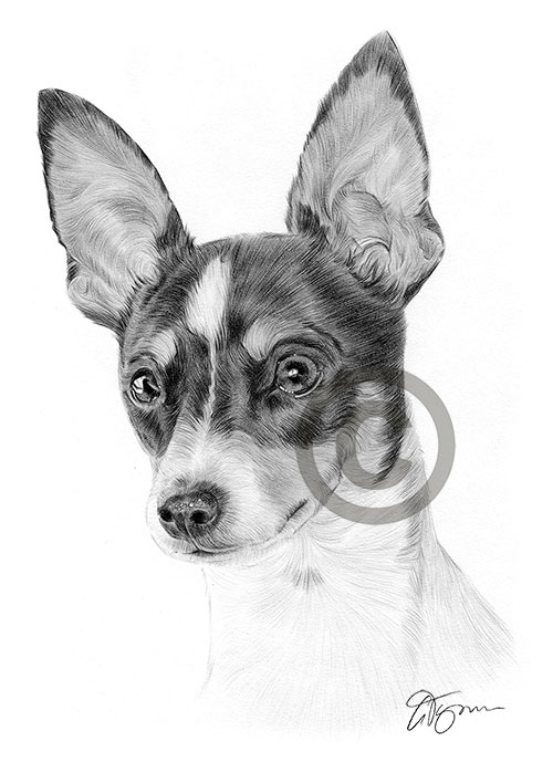 Adult Toy Fox Terrier dog pencil drawing thumbnail