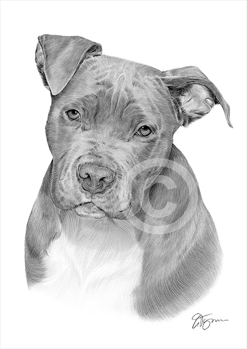 Pencil drawing of a Pit Bull Terrier