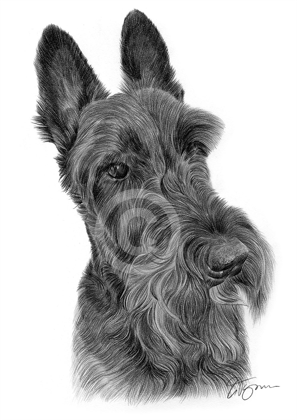 Pencil Drawing Of A Scotty Dog By Artist Gary Tymon