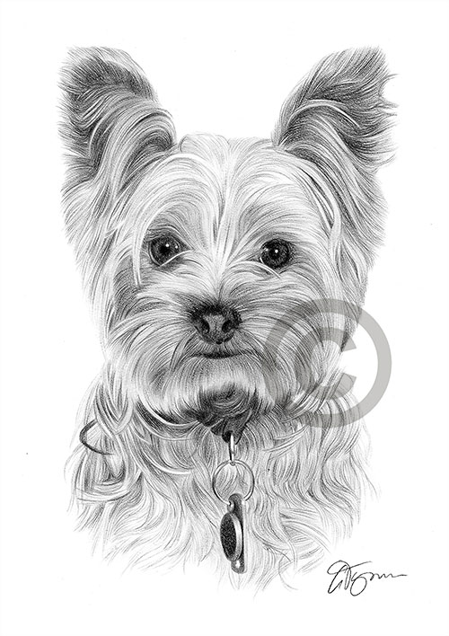Yorkshire Terrier dog pencil drawing thumbnail