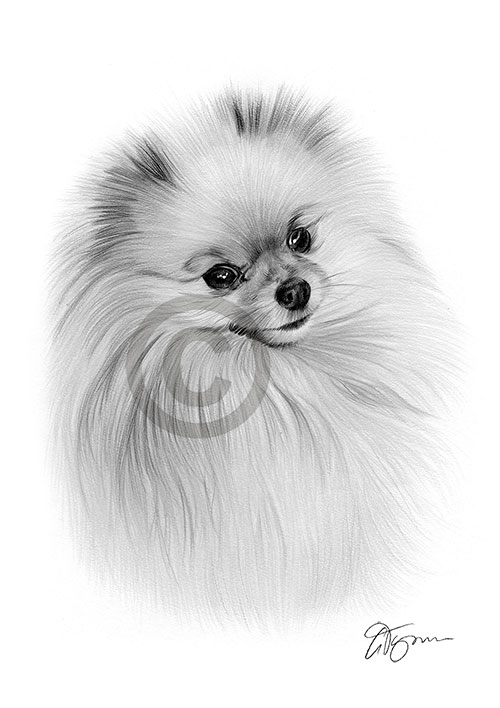 Pencil drawing of a cute Pomeranian