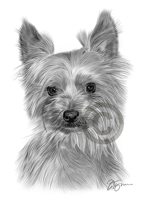 Pencil drawing of a Yorkshire Terrier
