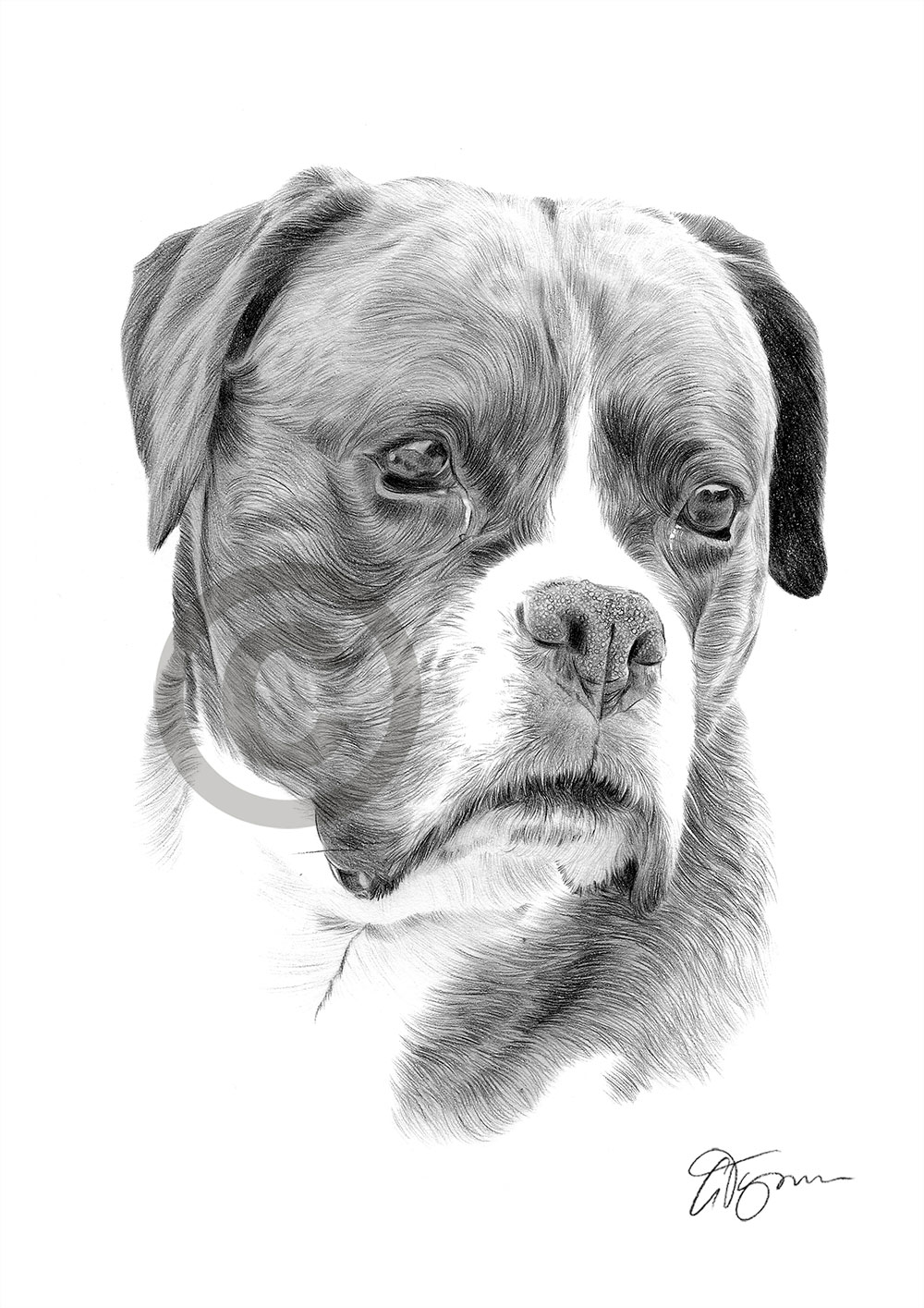 Boxer pencil drawing by artist Gary Tymon