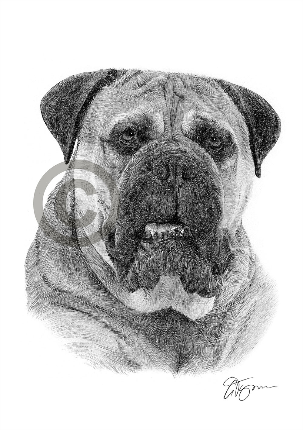 Bullmastiff pencil drawing by artist Gary Tymon