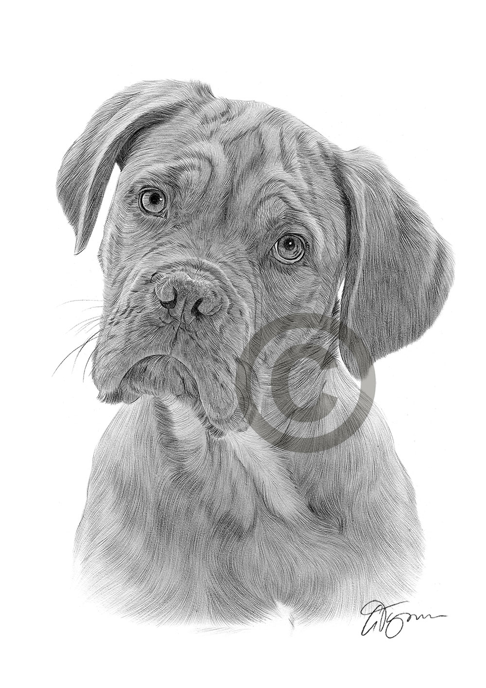Dogue De Bordeaux pencil drawing by artist Gary Tymon