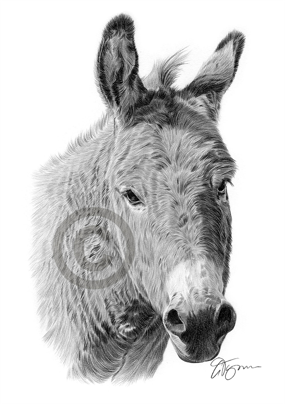 Donkey pencil drawing by artist Gary Tymon