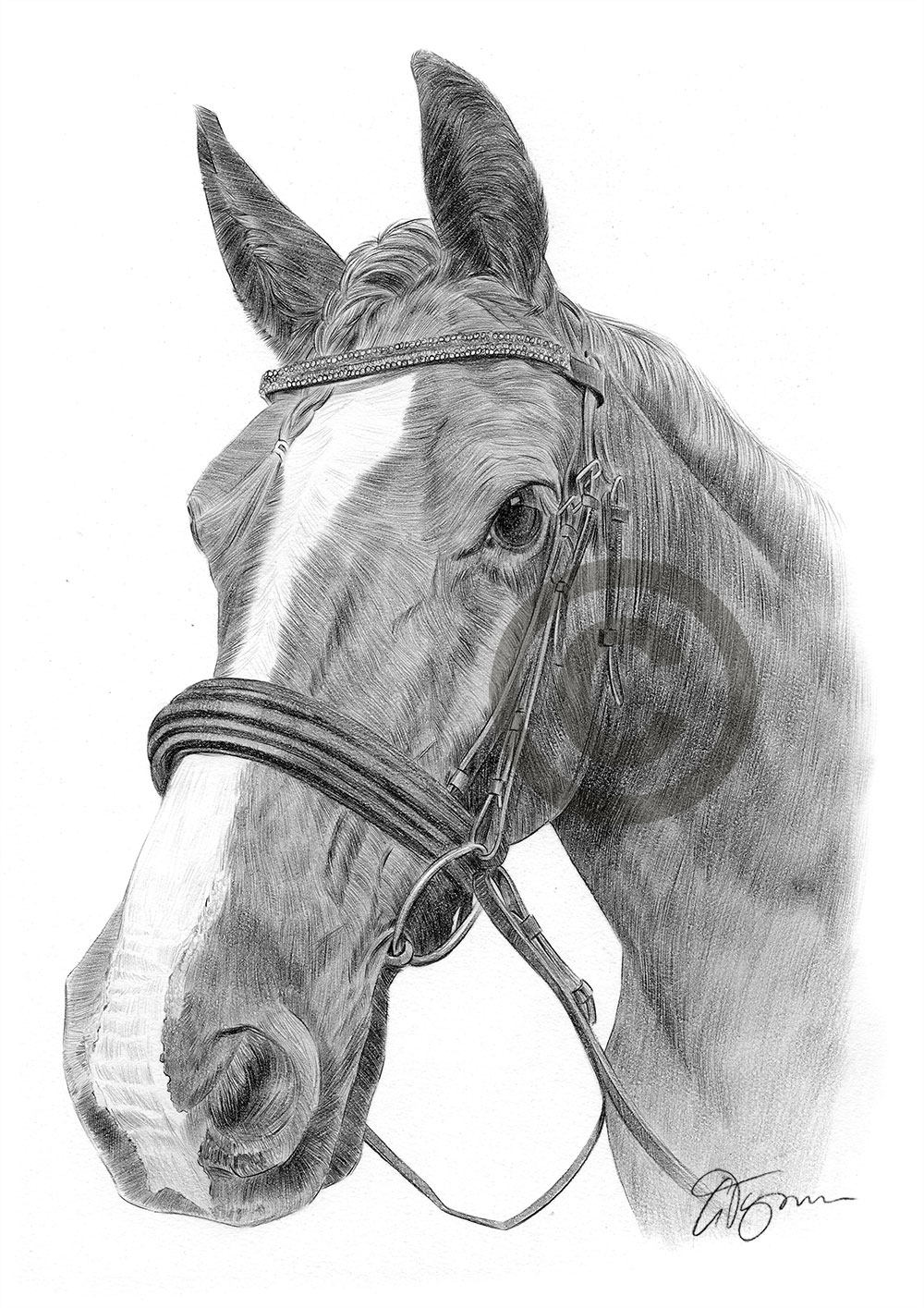 Pencil drawing of a stallion horse by artist Gary Tymon