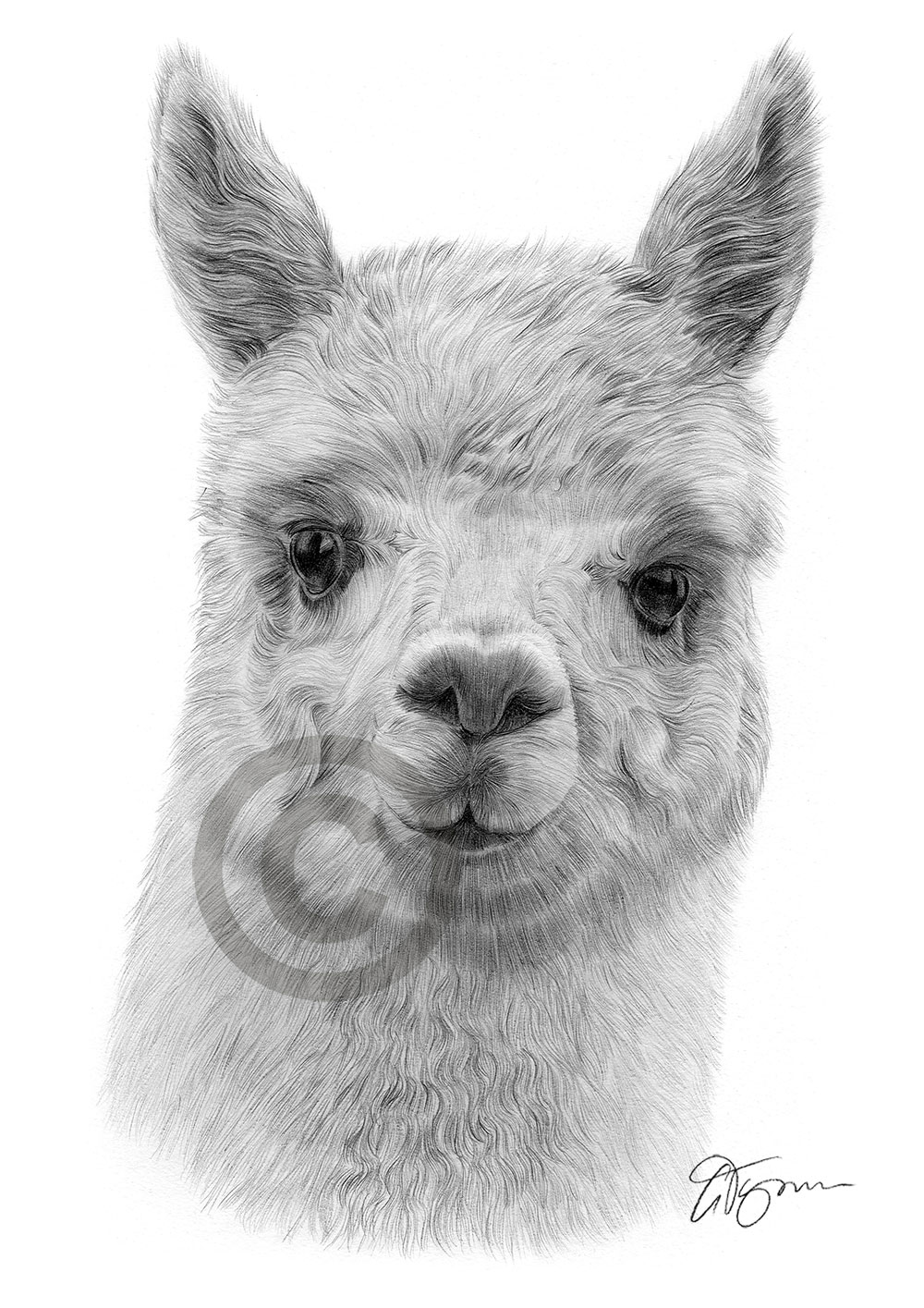 Pencil drawing of an alpaca by UK artist Gary Tymon