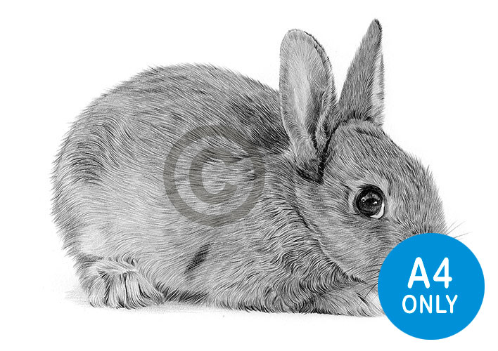 Pencil drawing of a young rabbit