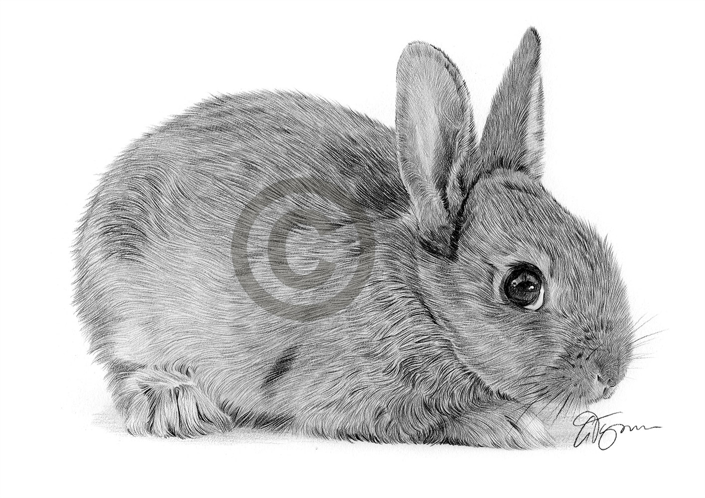 Pencil drawing of a baby rabbit by artist Gary Tymon