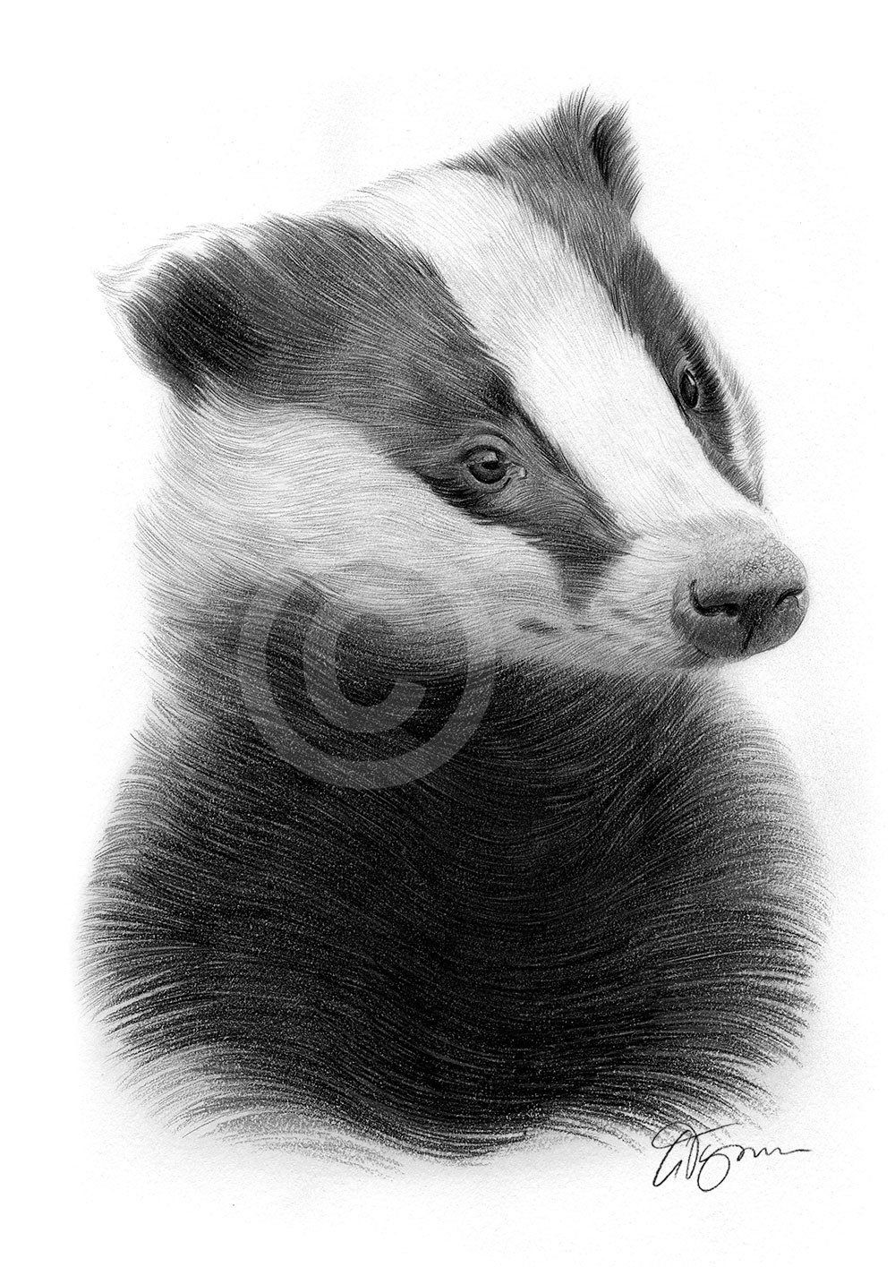Pencil drawing of a young badger by artist Gary Tymon