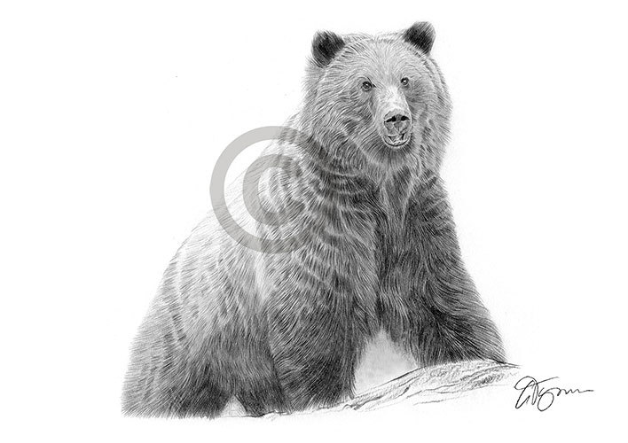 Brown Grizzly Bear pencil drawing thumbnail