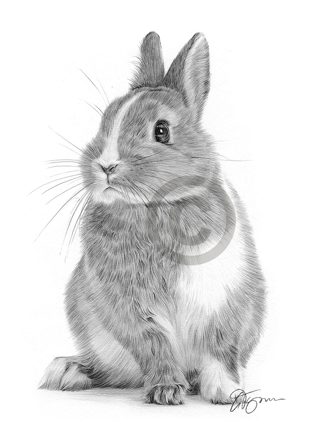 White and brown Rabbit pencil drawing by artist Gary Tymon