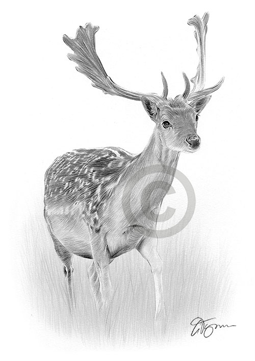 Fallow Deer pencil drawing