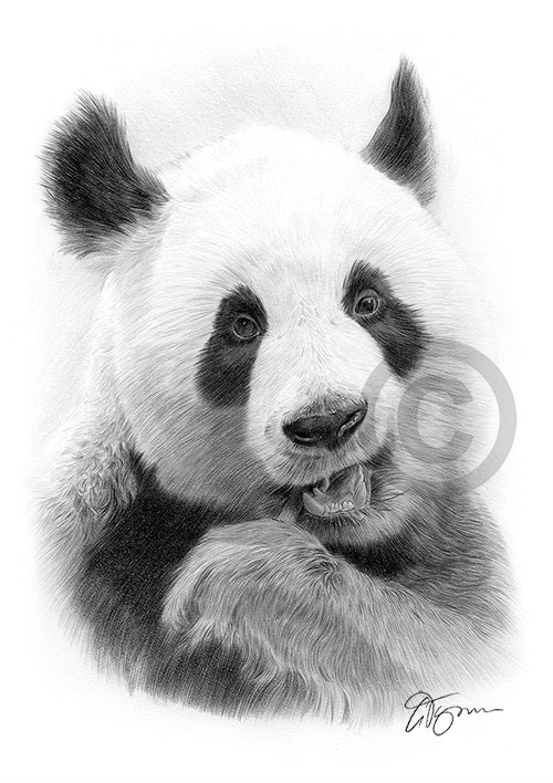 Adult Giant Panda pencil drawing