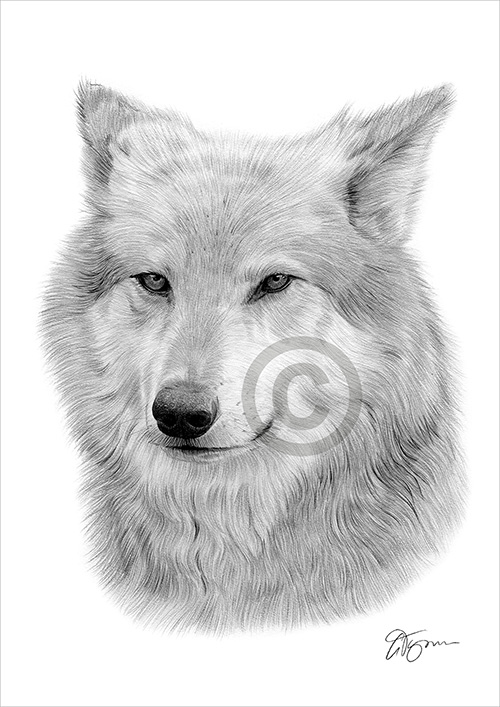 adult Grey Wolf pencil drawing thumbnail