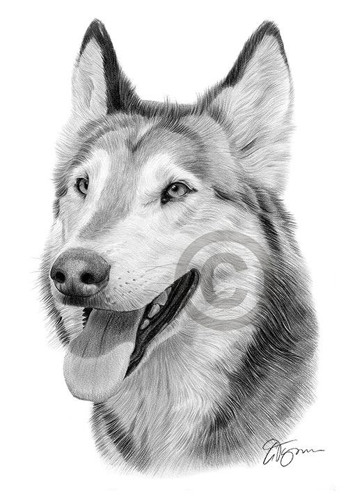Grey Wolf portrait pencil drawing