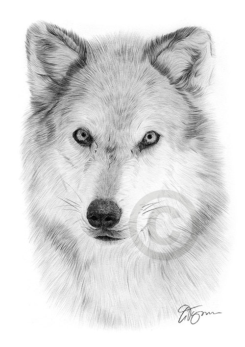 Arctic Wolf pencil drawing thumbnail