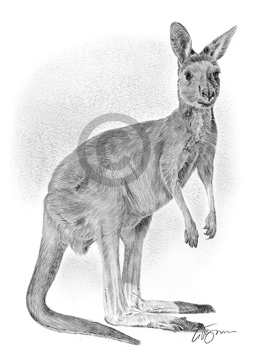 Australian Kangaroo pencil drawing thumbnail