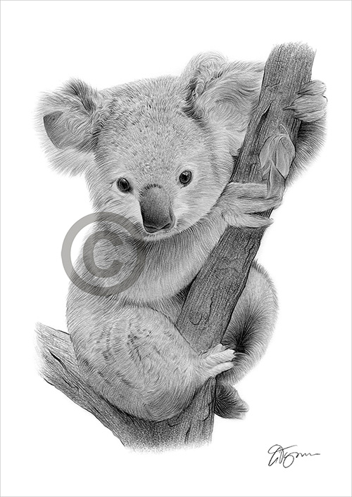Baby Koala pencil drawing thumbnail