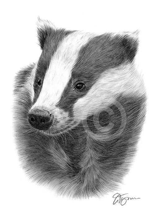 Badger pencil drawing thumbnail