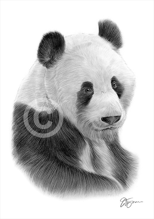Giant Panda pencil drawing thumbnail