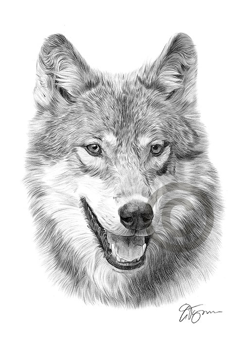 Grey Wolf pencil drawing thumbnail